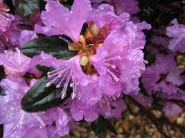RhododendronPJM