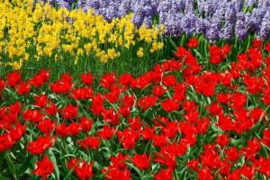 daffodils-21661_1280