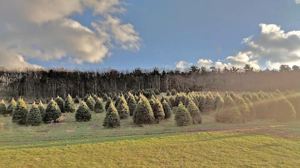 4 Popular Varieties of Christmas Trees